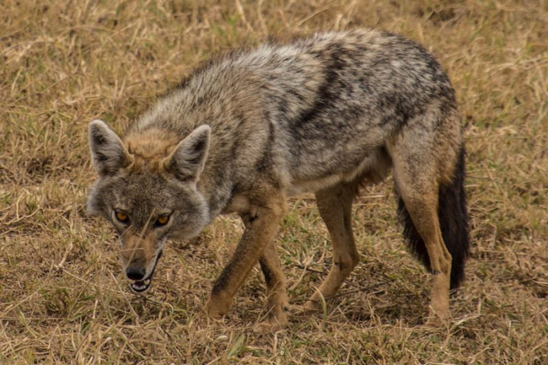 Side striped jackal