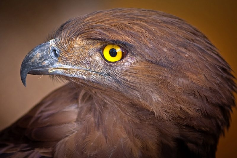 Brown_snake_eagle-queenelizabeth.np