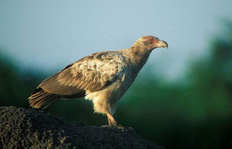 Palm-nut_vulture2