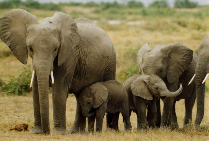 elephants_katwe