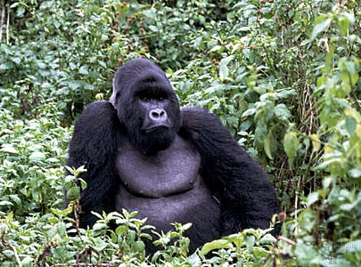 congo-mountain-gorilla