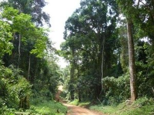 Bugoma Forest Apparently at a verge of surviving destruction – Uganda Safari News